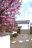 長崎家の紅梅